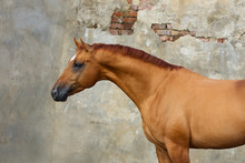 Portrait Of A Chestnut Horse O...