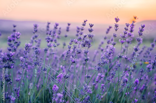 Photo  Lavender Field in the summer, natural colors, selective focus.