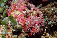 Stonefish Perfect Camouflaged ...