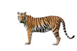 Asian tiger on a white background.