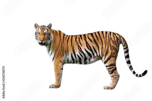 In de dag Tijger Asian tiger on a white background.