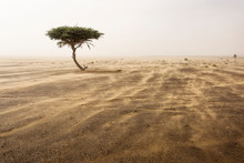 Single Tree In A Sands Storm I...