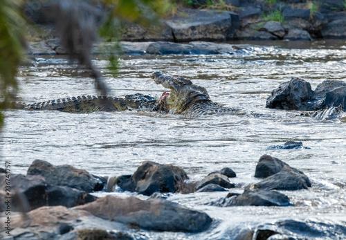 Photo  crocodile attacking in river