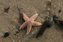 Close Up Of Live Starfish Creature On Sandy Beach With Razor Shell Sea Weed Drift Wood And Pebbles All Stranded On The Shore After Ocean Storm On Winter Day In Sunshine Looking Down From Above