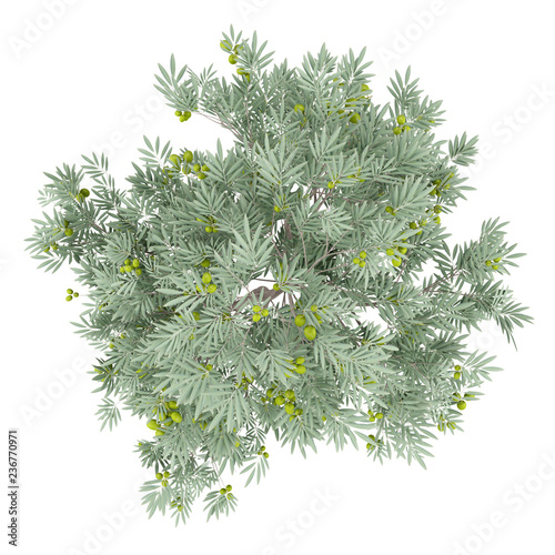 Stickers pour porte Oliviers olive tree with olives isolated on white background. top view