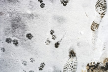 Human And Cat Footprints On Snow, Top View