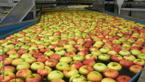 Pinturas sobre lienzo  Conveyor belt with fresh apples in the food industry - dispatch and sorting auto
