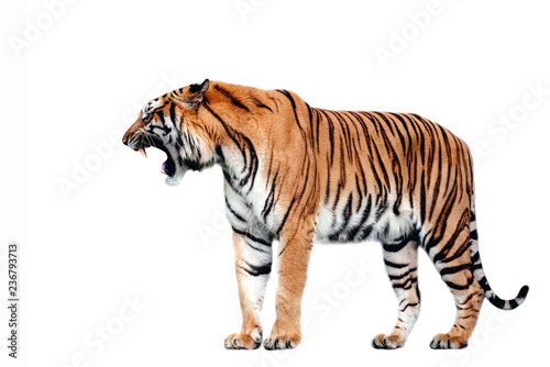 Photo sur Toile Tigre Tiger action on white background.