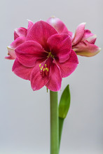 Pink Amaryllis Flower Blooming...
