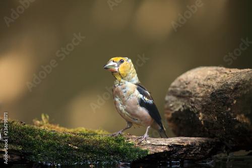 Fotografía The hawfinch (Coccothraustes coccothraustes) sitting at a drinker