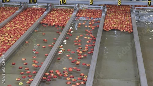 Fotografía  Conveyor belt with fresh apples in the food industry - dispatch and sorting auto