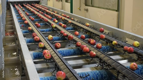Cuadros en Lienzo Conveyor belt with fresh apples in the food industry - dispatch and sorting auto