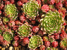 Jovibarba Hirta Succulent Plant Growing In A Pot