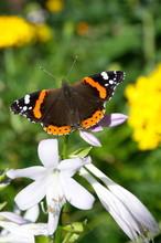 Butterfly Admiral (lat. Vanessa Atalanta) On Flower Hosts