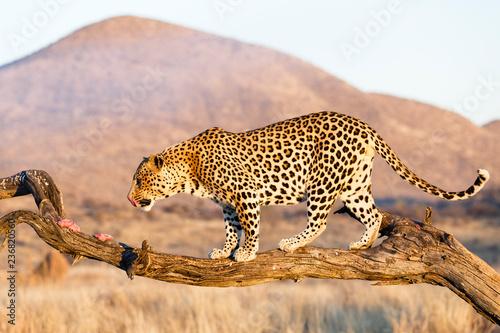 Keuken foto achterwand Luipaard Leopard (Panthera pardus), im Baum, fressend