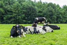 Black And White Holstein Fresian Cows In A Lush Summer Pasture In Dutch Field