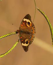 Common Buckeye Butterfly In Te...