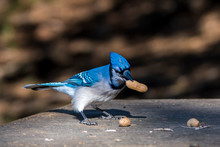 A Bluejay With A Peanut. He Is...