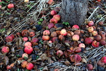 Red Rotten Apples On The Ground In Grass Near White Apple Tree Trunk On Dark Background