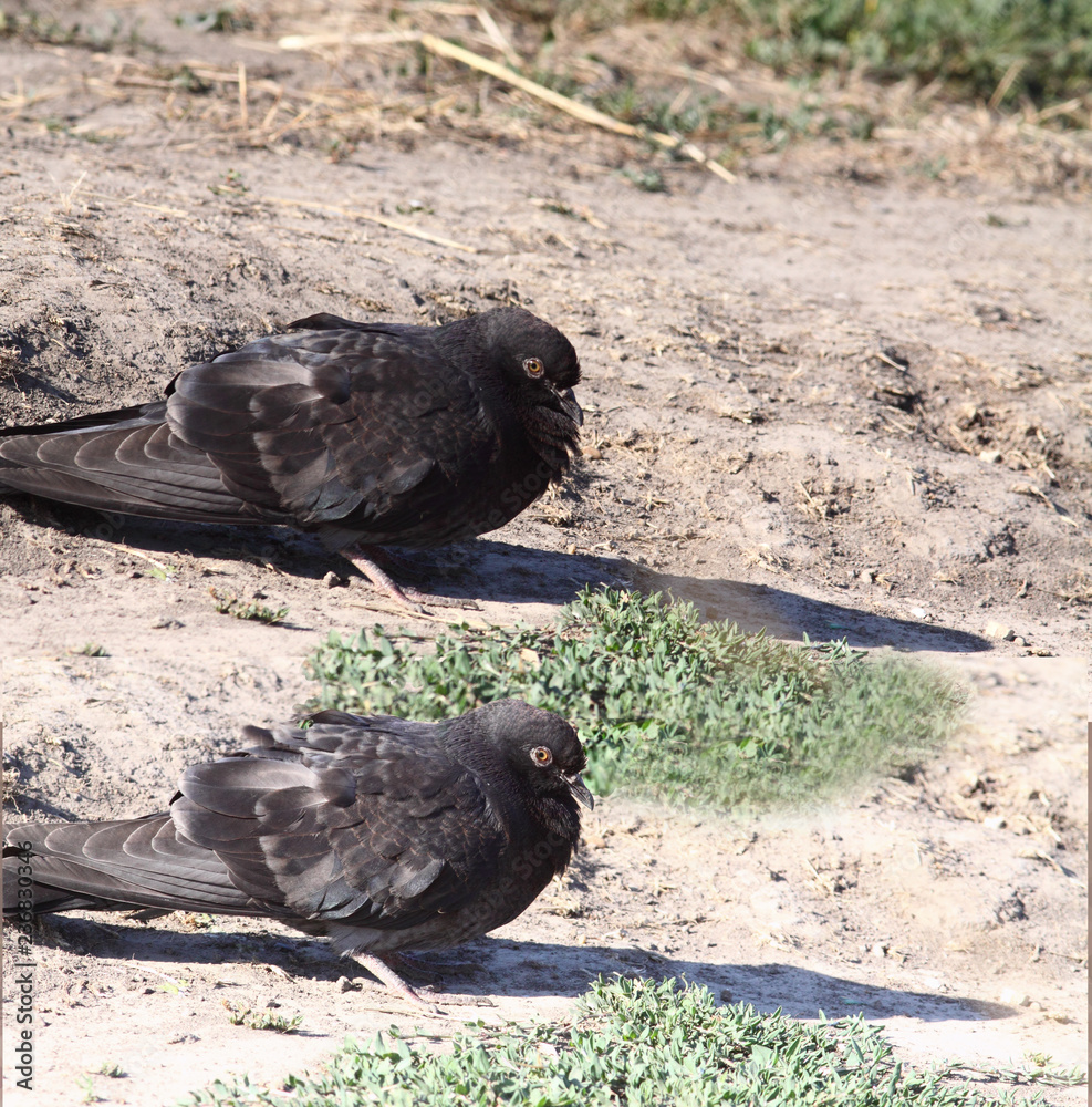 A pair of pigeons sit on the ground...