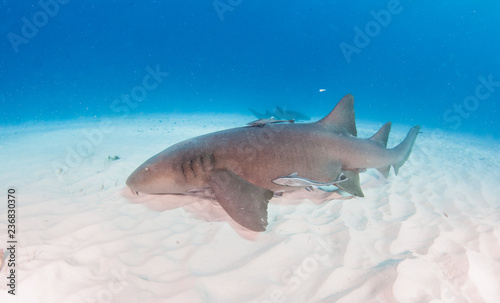 Nurse shark at the Bahamas