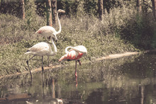 Flamingos Or Flamingoes Are A Type Of Wading Bird In The Family Phoenicopteridae. Flamingos