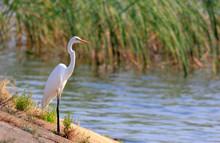 Great Egret(Ardea Alba) Standing