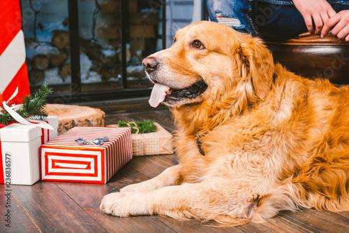 Fotografija  adult dog a golden retriever,abrador lies next to the owner's legs of a male breeder