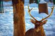 Noble deer.