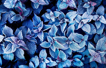 beautiful natural background of top view of mint leaves covered with the first autumn frost in the early morning in the garden