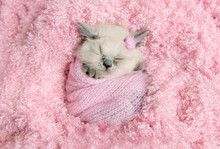 Newborn British Kitten Sleeps ...