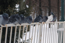 Pigeons Sit On The Fence On A Winter Day
