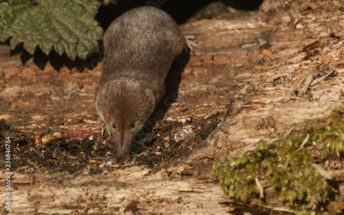 Fotografie, Obraz  A shy and elusive Common Shrew (Sorex araneus) hunting for food in a decaying log pile in woodland