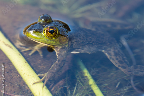 Wild frog in Acadia National Park in Maine.