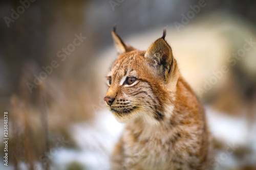 Portrait of eurasian lynx in the forest at winter looking for prey