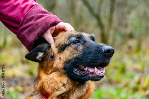 Canvas Print Old German Shepherd on a walk in the park