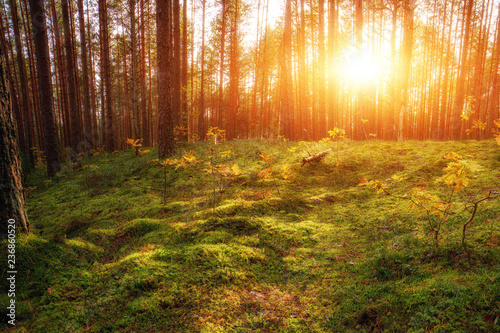 Fotobehang Natuur Lovely Sunset Behind The Forrest In Russia. Sunrise In A Forest, Sunbeams Through The Trees.
