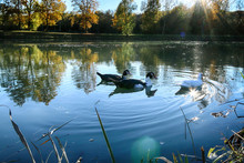 Three Ducks Swimming In A Lake, Italy