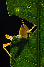 Close-up Of A Grasshopper Eating A Leaf, Indonesia