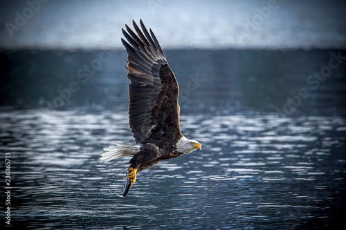 Bald eagle with a fish.