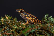 Close Up Of Hylarana Frog
