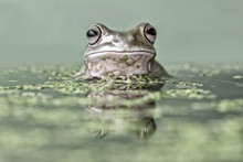 Portrait Of A Dumpy Tree Frog In A Pond, Indonesia