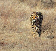 Female Cheetah Stalking Her Prey, Kenya