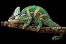 Veiled Chameleon On A Branch, ...