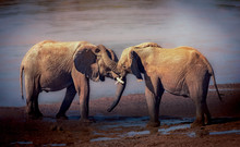 Two Male Elephants Tussling With Each Other, Kenya