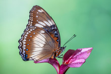 Portrait Of Butterfly On A Flower, Indonesia