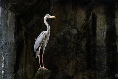 lesser adjutant stork Wallpaper Mural