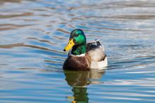 Wild Duck Mallard Anas Platyrhynchos. Male Duck.