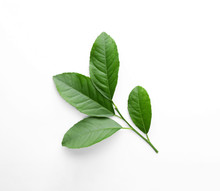Fresh Twig With Green Citrus Leaves On White Background, Top View