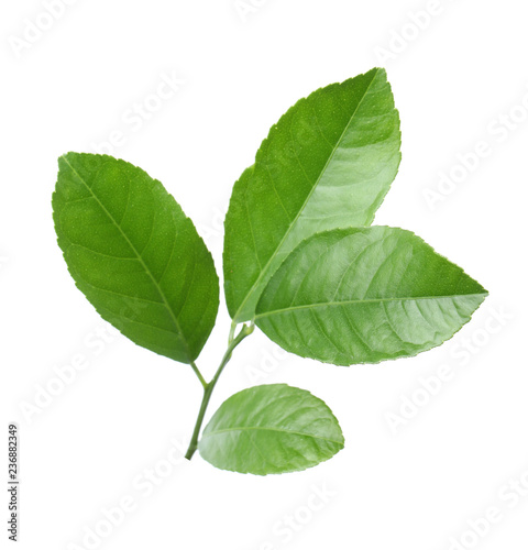 Fresh twig with green citrus leaves on white background